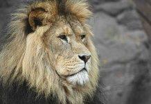 leão símbolo de liderança